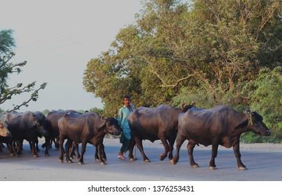 Tando Allahyar District, Sindh/Pakistan: September 24, 2014: A herdsman with his buffalos on the streets of Tando Allahyar.