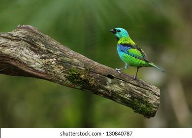 Tangara seledon Green headed tanager Saira Sete Cores