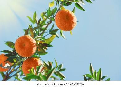 Tangerine citrus fruits (Citrus tangerina) growing on the tree branch. Blue sky background.