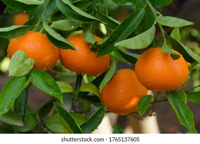 Tangerine of the clemenvilla variety on the tree pending collection. Valencia. Spain