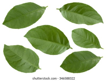 Tangerine fruit leaf collection isolated on white