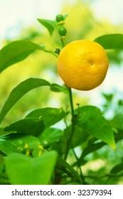 Tangerine fruit on a tree.