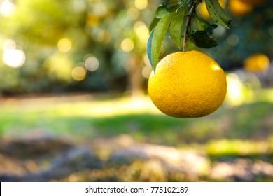 tangerine in the garden of south korea