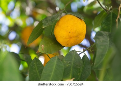 A tangerine on the tree.