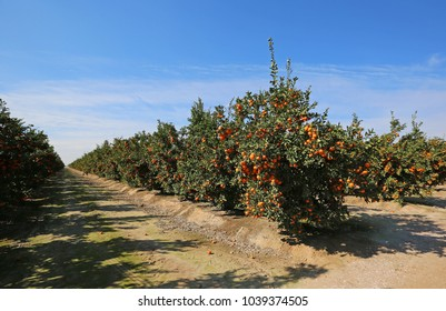Tangerine orchard - Blossom Trail, Fresno county, California
