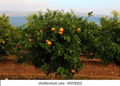 Tangerine tree with plenty of fruits