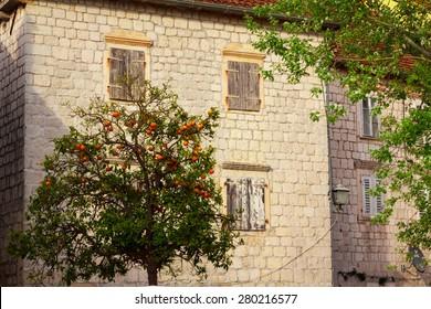 Tangerine tree in the yard