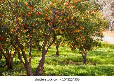 Tangerine trees and green field in Bodrum Gumusluk Turkey