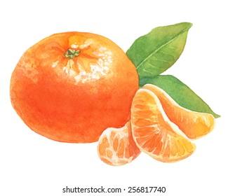Tangerine. Watercolor illustration.