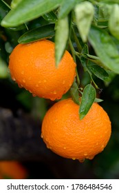 Tangerines, of the Clemenvilla variety, on the tree, pending collection. Valencia. Spain. Europe