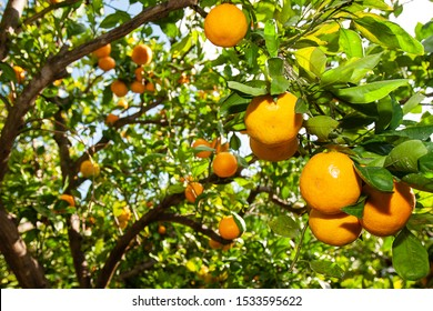 Tangerines on a tangerine tree.