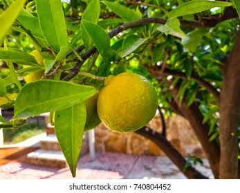 Tangerines ripening in the tree. Greenish color before collection when they turn yellow