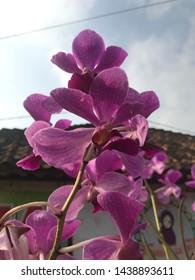 Tanggamus, Lampung, Indonesia - June 29, 2019: Orchids of the Philipines, Waling-Waling (Vanda Sanderana) grows in natural abundance in Davao City.
