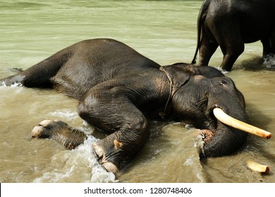 Tangkahan, North Sumatera-December 2018: Elephant enjoys the fresh water of the river in Tangkahan, North Sumatera. Some elephants in Tangkahan are trained to have interaction time with visitors.