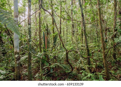 Tangle of lianas in the understory of pristine tropical rainforest in the Ecuadorian Amazon.