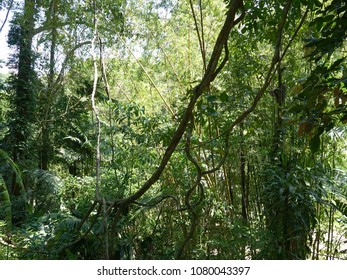 Tangled Lianas and lush green foliage in tropical jungle, Phuket national park, Southern Thailand.