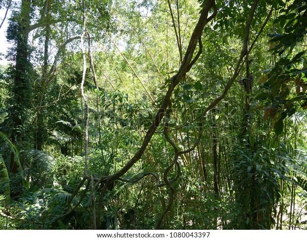 Tangled Lianas Lush Green Foliage Tropical Nature Stock Image