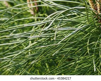 tangled pine needle background