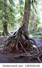Tangled root system of living tree grown from rotting log seen decomposing in middle in Cathedral Grove