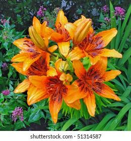 Tango Asiatic Lily (Lilium) - Liliaceae