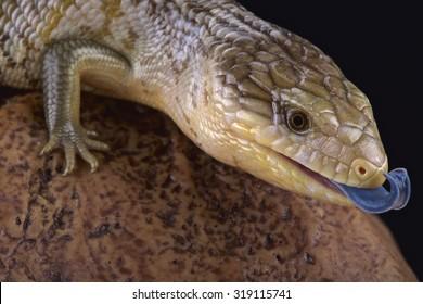 Tanimbar blue tongue skink (Tiliqua scincoides chimaerea)