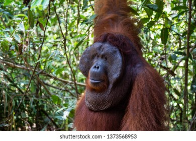 Tanjung Puting National Park, Borneo, Indonesia: a close up of the Alpha Male Orangutan during the feeding at the second station of the park