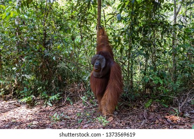 Tanjung Puting National Park, Borneo, Indonesia: the Alpha Male Orangutan during the feeding at the second station of the park