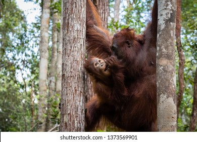 Tanjung Puting National Park, Borneo, Indonesia: a baby orangutan and his mother during the afternoon feeding at Camp Leakey, the main station of the park
