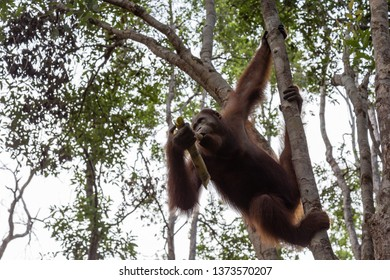 Tanjung Puting National Park, Borneo, Indonesia: an orangutan on a tree branch during the afternoon feeding at Camp Leakey, the main station of the park