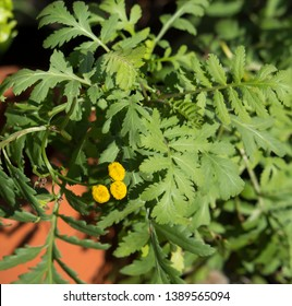 Tansy Chrysanthemum vulgare is a perennial, herbaceous flowering plant of the aster family, native to temperate Europe and Asia also called common tansy, bitter buttons, cow bitter, or golden buttons.