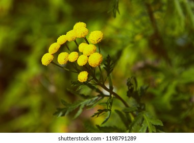 Tansy flower blooming summer