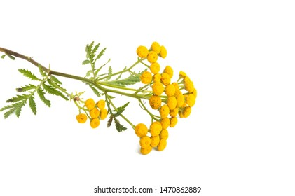 tansy isolated on white background