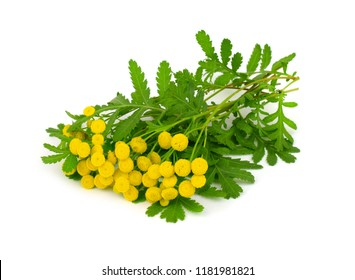 Tansy Medicinal Herb Flower Plant. Also Tanacetum Vulgare, Common Tansy, Bitter Buttons, Cow Bitter, or Golden Buttons. Insect Repellent. Isolated on White Background.
