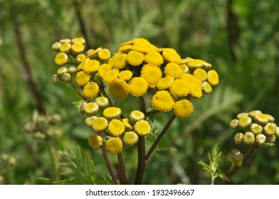 Tansy ordinary blooms in the meadow in the wild