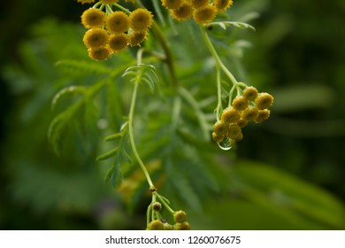 Tansy, Tanacetum vulgare, Common Tansy, Bitter Buttons, Cow Bitter Mugwort Golden Buttons