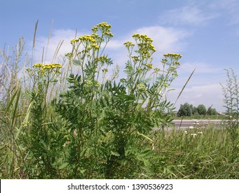 Tansy , Tanacetum vulgare, common tansy, bitter buttons, cow bitter, or golden buttons yellow small flowers growing in a meadow close up. Honey and medicinal plants in Europe. drug plants