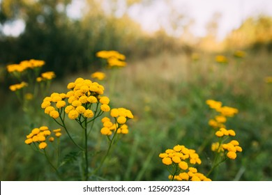 Tansy - Tanacetum Vulgare - Is A Perennial, Herbaceous Flowering Plant Of The Aster Family, Native To Temperate Europe And Asia. Common Tansy, Bitter Buttons, Cow Bitter, Or Golden Buttons.