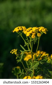 Tansy (Tanacetum vulgare) in sunset light with shallow depth of field