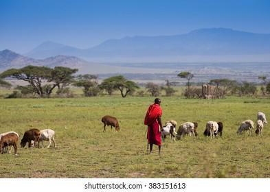 Tanzania 2016 Year February 15 . Masai Shepherd with herd of goats on african savannah
