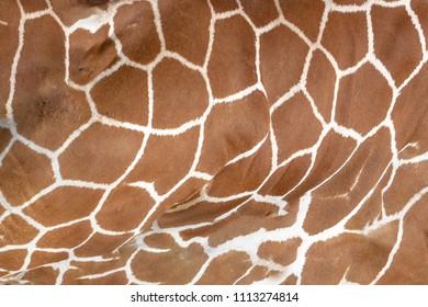 Tanzania giraffe close up of skin pattern texture