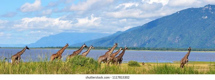 Tanzania Lake Manyara National Park Giraffes