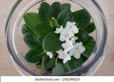 Tanzanian violet with blooming white flowers in terrarium.