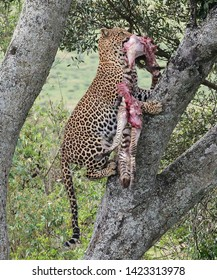 TANZANIA,NGORONGORO CRATER NATIONAL PARK APRIL 13,2019;The leopard hauling the zebra's carcass,climbing on the tree to keep safe from scavengers.Leopard renowning its great strength,can haul a carcass