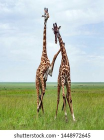 TANZANIA,SERENGETI NATIONAL PARK JULY 4,2019;The male giraffe try to seduce the female giraffe who is not ready to do the mate with him but the man force and kick her on its neck,she didn't mate to it