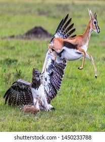TANZANIA,SERENGETI NATIONAL PARK JULY 8,2019;The gazelle feels that a leopard craws and stalk with a target to attack her,once she starts to run by leaping due to its pace pushing a eagle and run away
