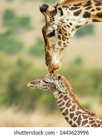 TANZANIA,SERENGETI NATIONAL PARK JUNE 18,2019;The female giraffe giving kisses on her head daughter, seemingly she takes care and protect with all tragedies. It also like to see her is happy all time.