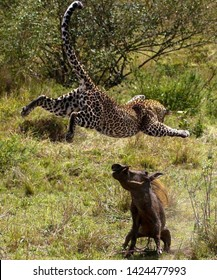 TANZANIA,SERENGETI NATIONAL PARK, MARCH 14,2019;The leopard in the prey is lucky to see the warthog coming out of his hole going to search for food,the leopard flying up to the warthog catch and kills
