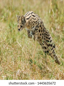 TANZANIA,SERENGETI NATIONAL PARK MARCH 8,2019;A serval cat a skilled hunter being in employing techniques jump to ambush and catch  bird that eat insect in its grassland dwelling,it succeed to grab it