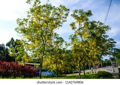 Taoyuan, Taiwan - AUG 01, 2018:Cassia fistula, golden shower tree.