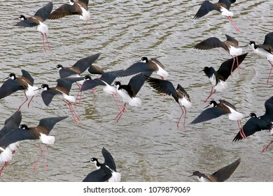 A tapestry of Black necked stilt birds in flight over the Los Angeles River